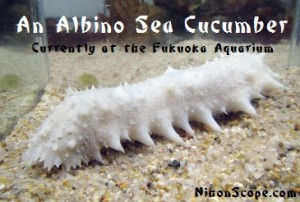 The newest addition to the Fukuoka Aquarium Albino Sea Cucumber